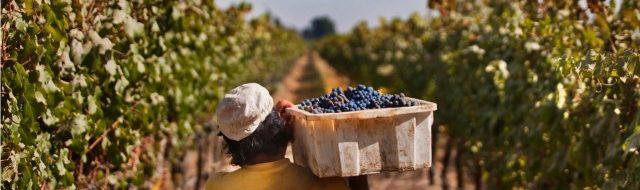 La cosecha de uva es auspiciosa para la economía de Chile